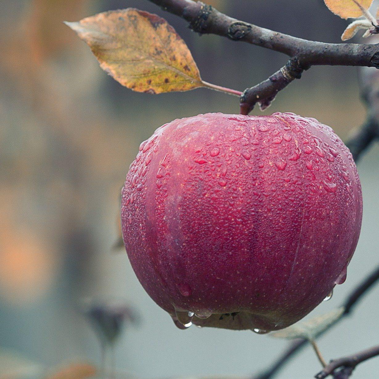 Single apple on tree